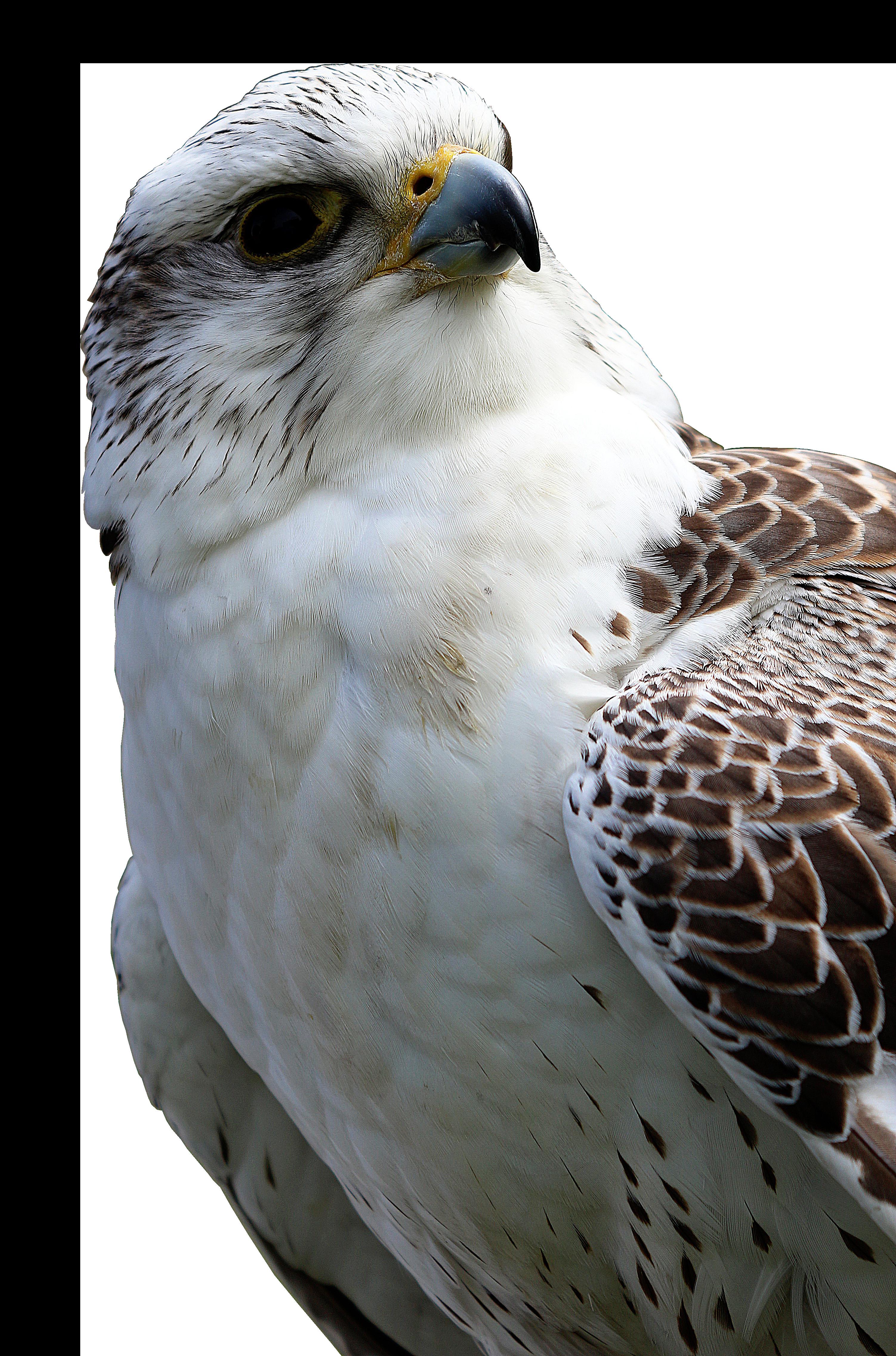 Hawk PNG Image
