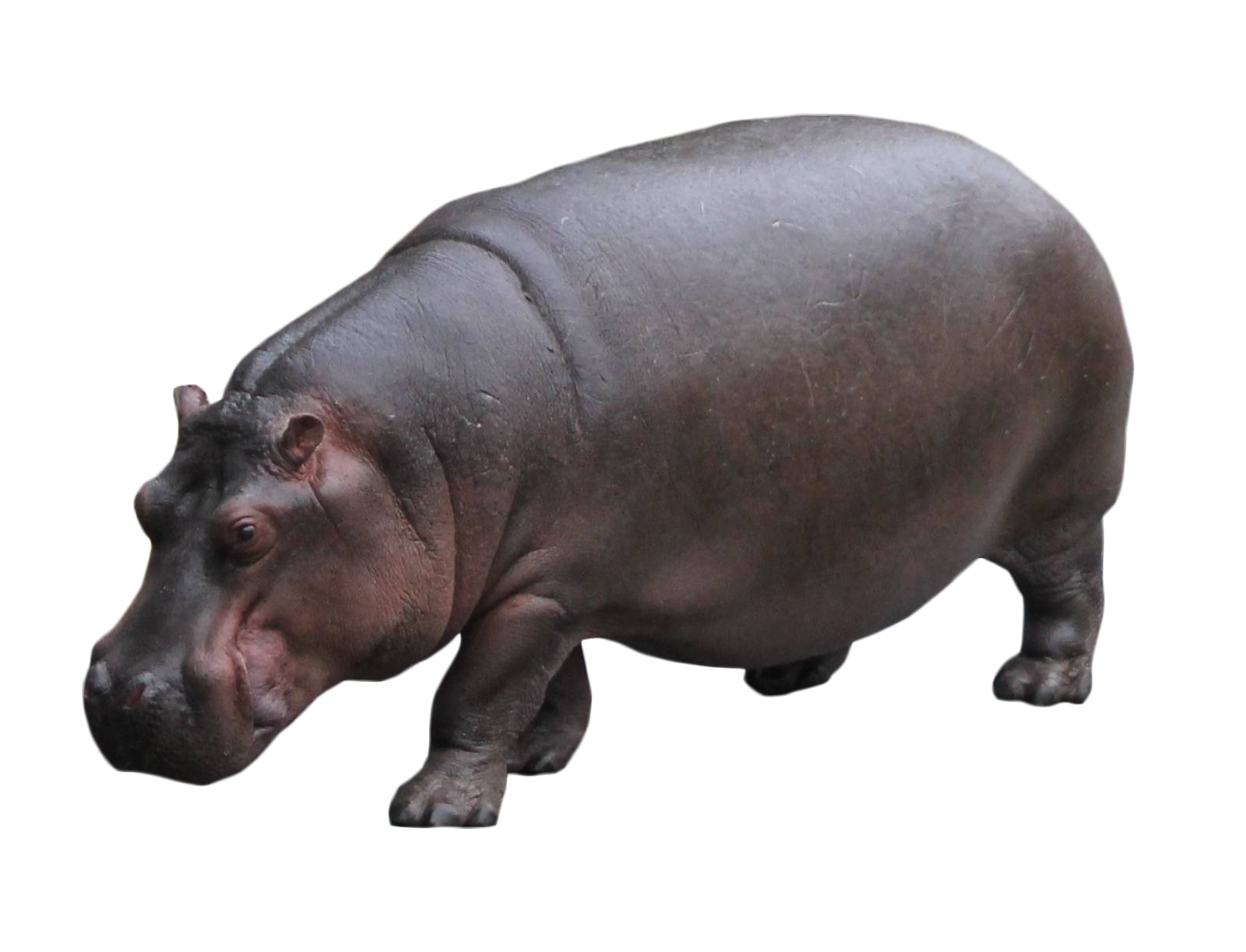 Hippo Standing PNG Image