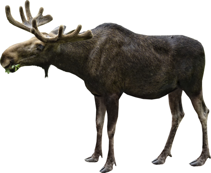 Moose Eating PNG Image