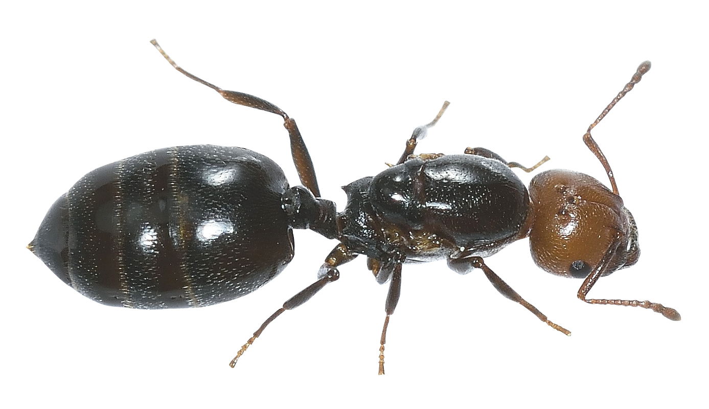 Ant PNG Image