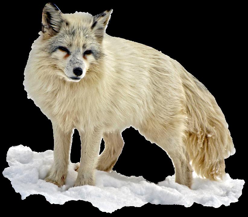 Arctic Snow Fox