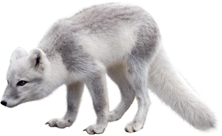 Arctic Snow Fox PNG Image