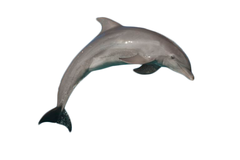 Atlantic Bottlenose Dolphin Jumping PNG Image