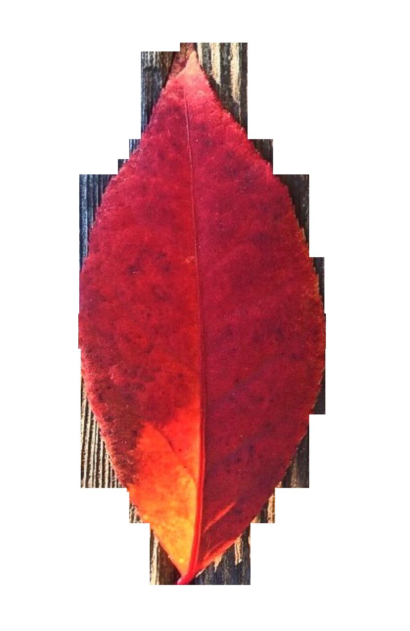Autumn Leaf PNG Image