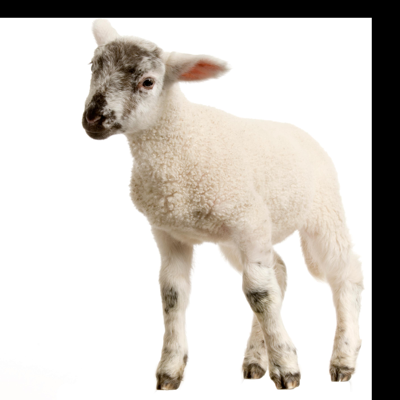 baby lamb png image purepng free transparent cc0 png free clipart farm animals free clipart farm animals black and white