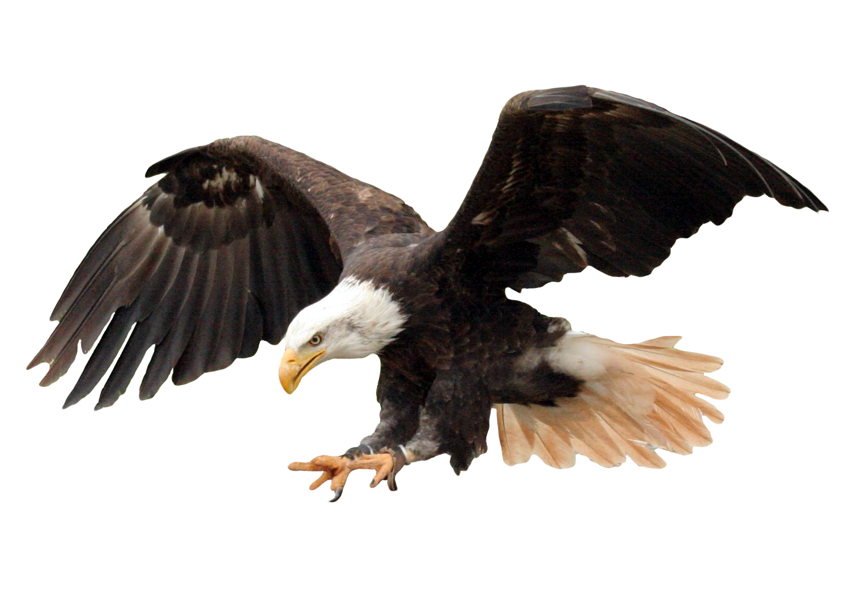bald eagle png image purepng free transparent cc0 png