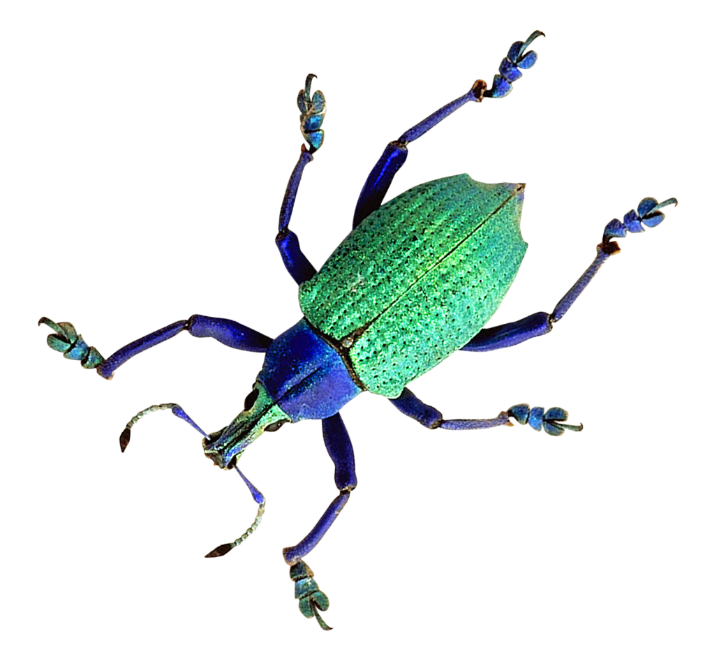 Beetle PNG Image
