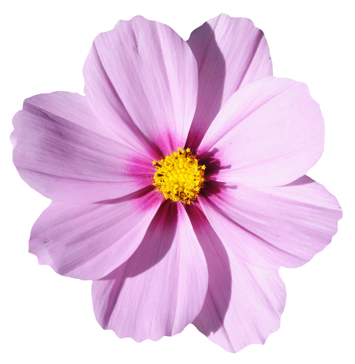 Purple Flower Clipart No Background: Blossom Flower PNG Image - PurePNG