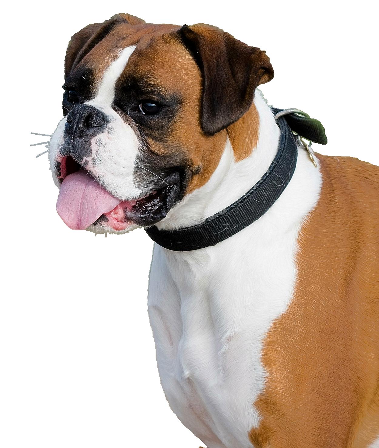 Boxer Dog PNG Image - PurePNG | Free transparent CC0 PNG ...