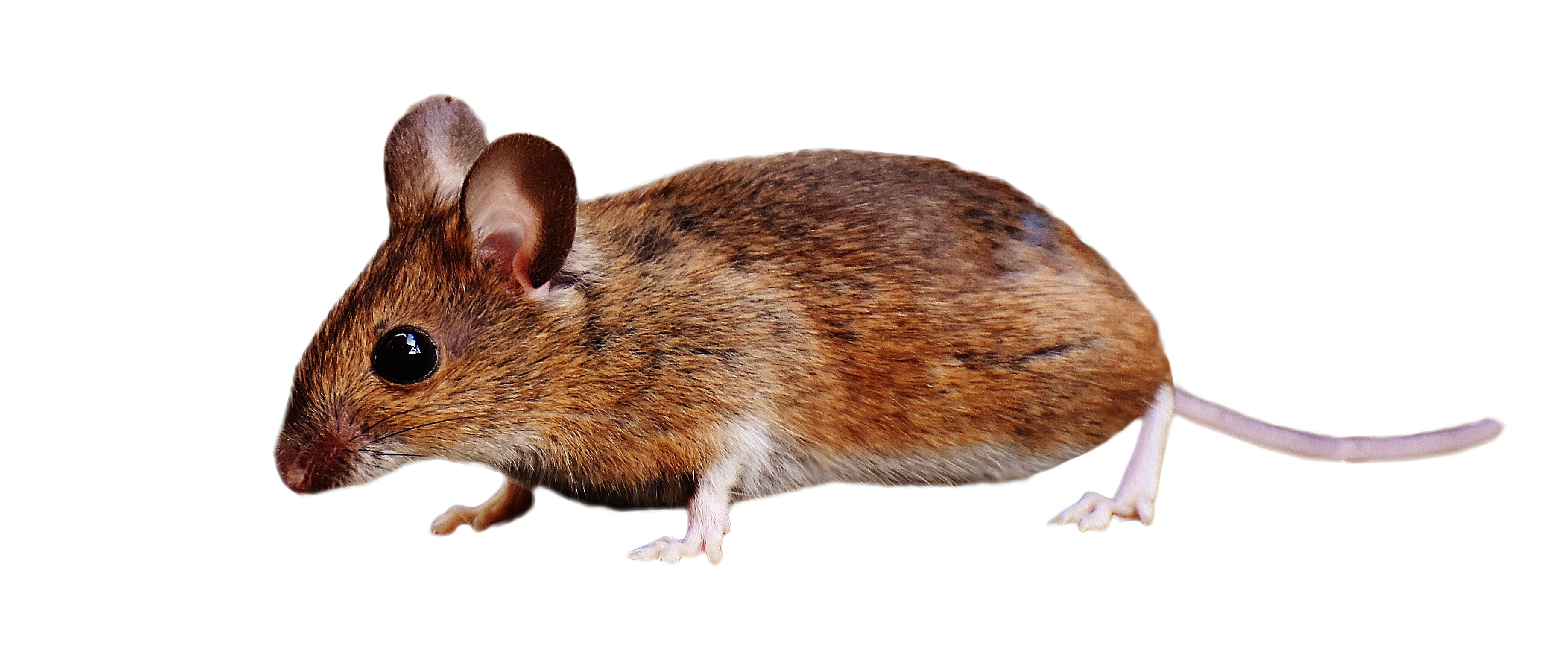 Brown Mouse Standing