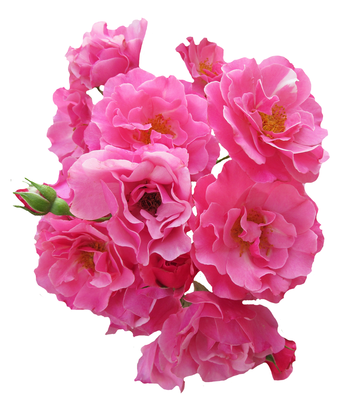 Bunch Pink Rose Flower Png Image Purepng Free Transparent Cc0