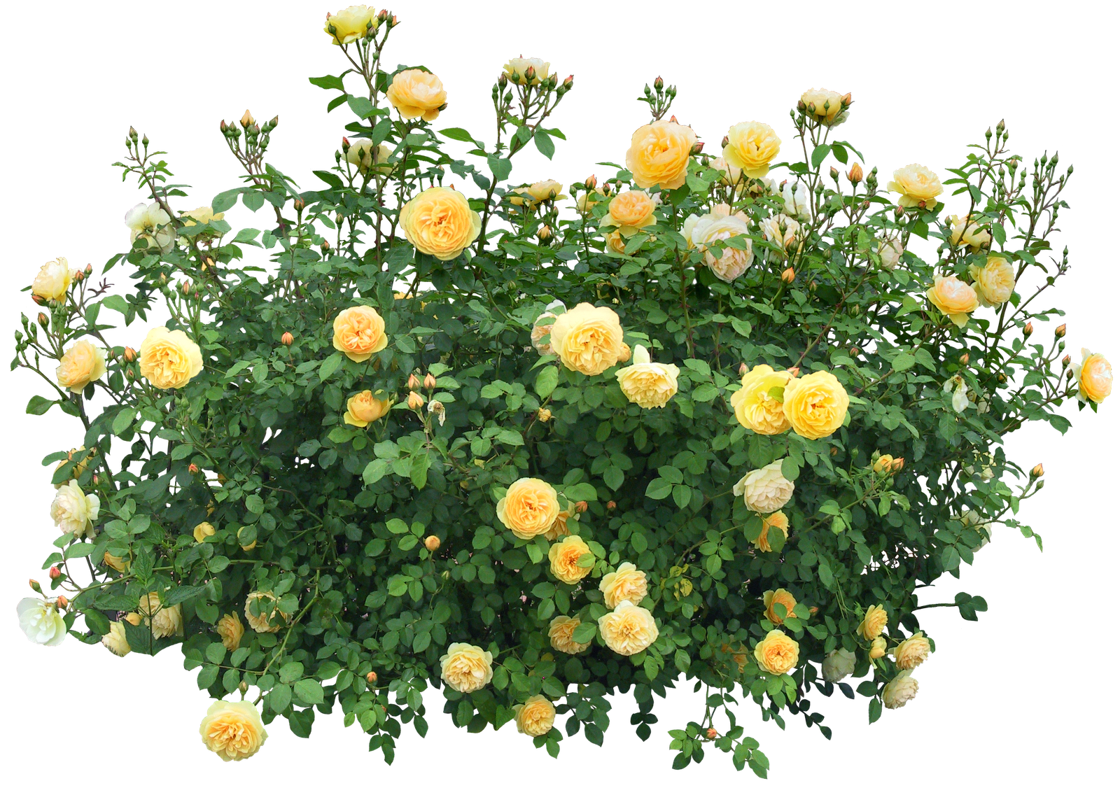 Bush with roses