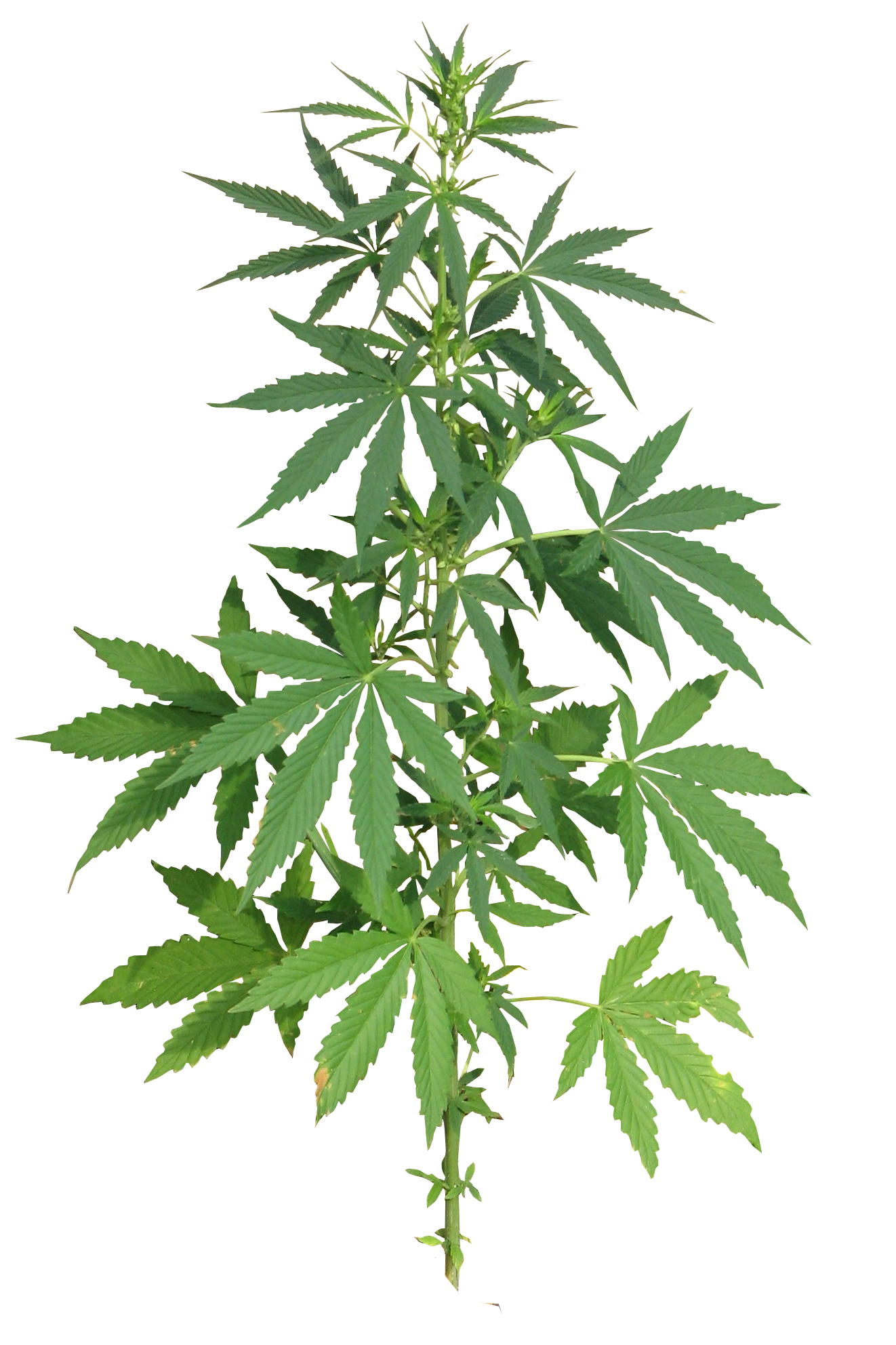 Cannabis Plant full