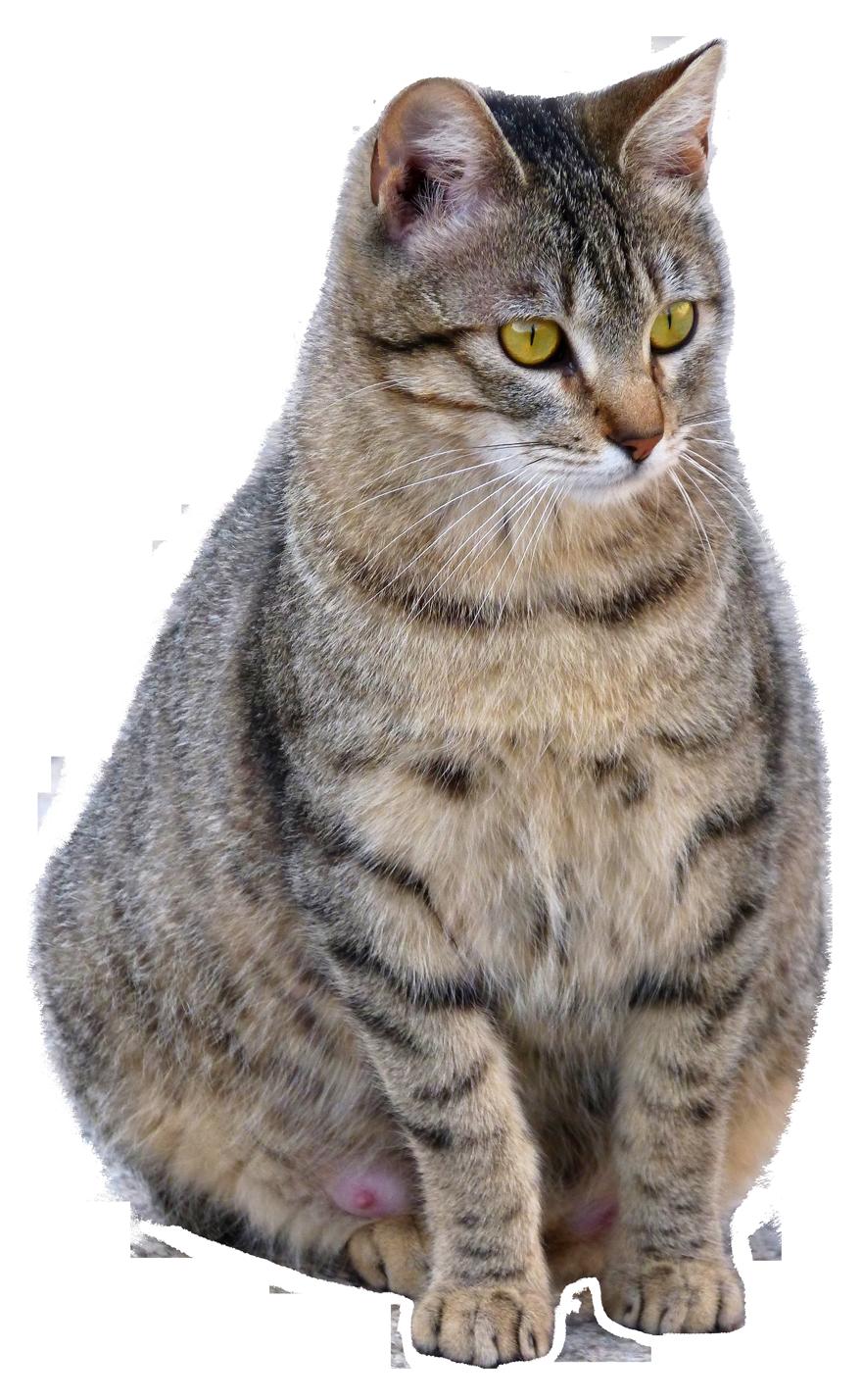 Cat PNG Image