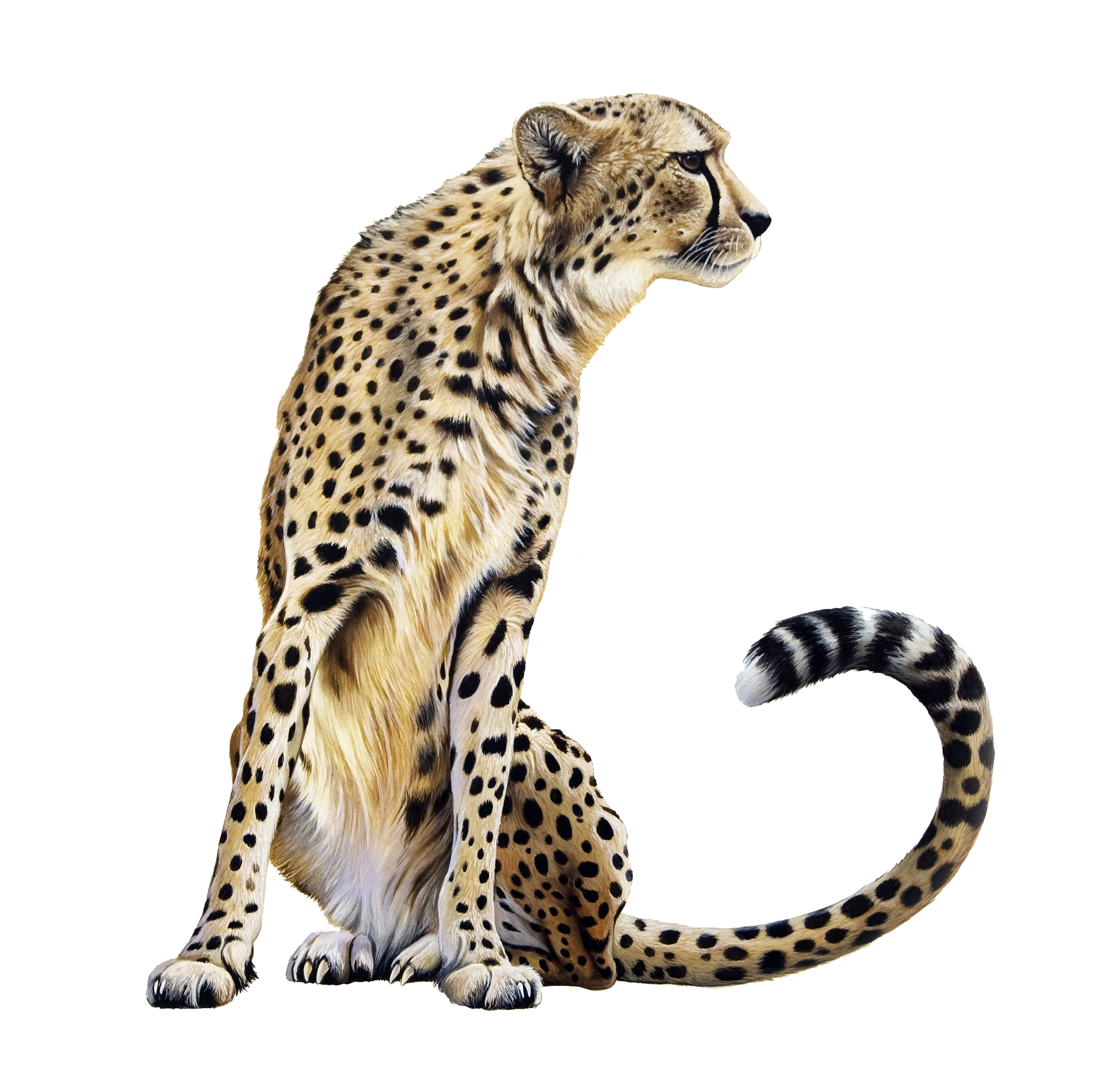 Cheetah Sitting PNG Image