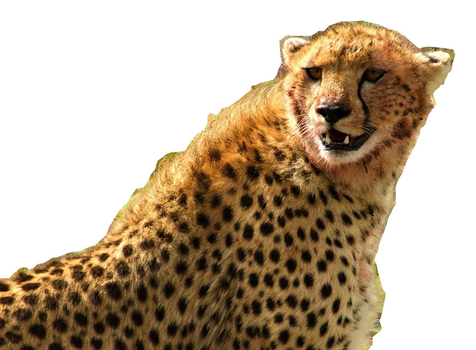 Cheetah PNG Image