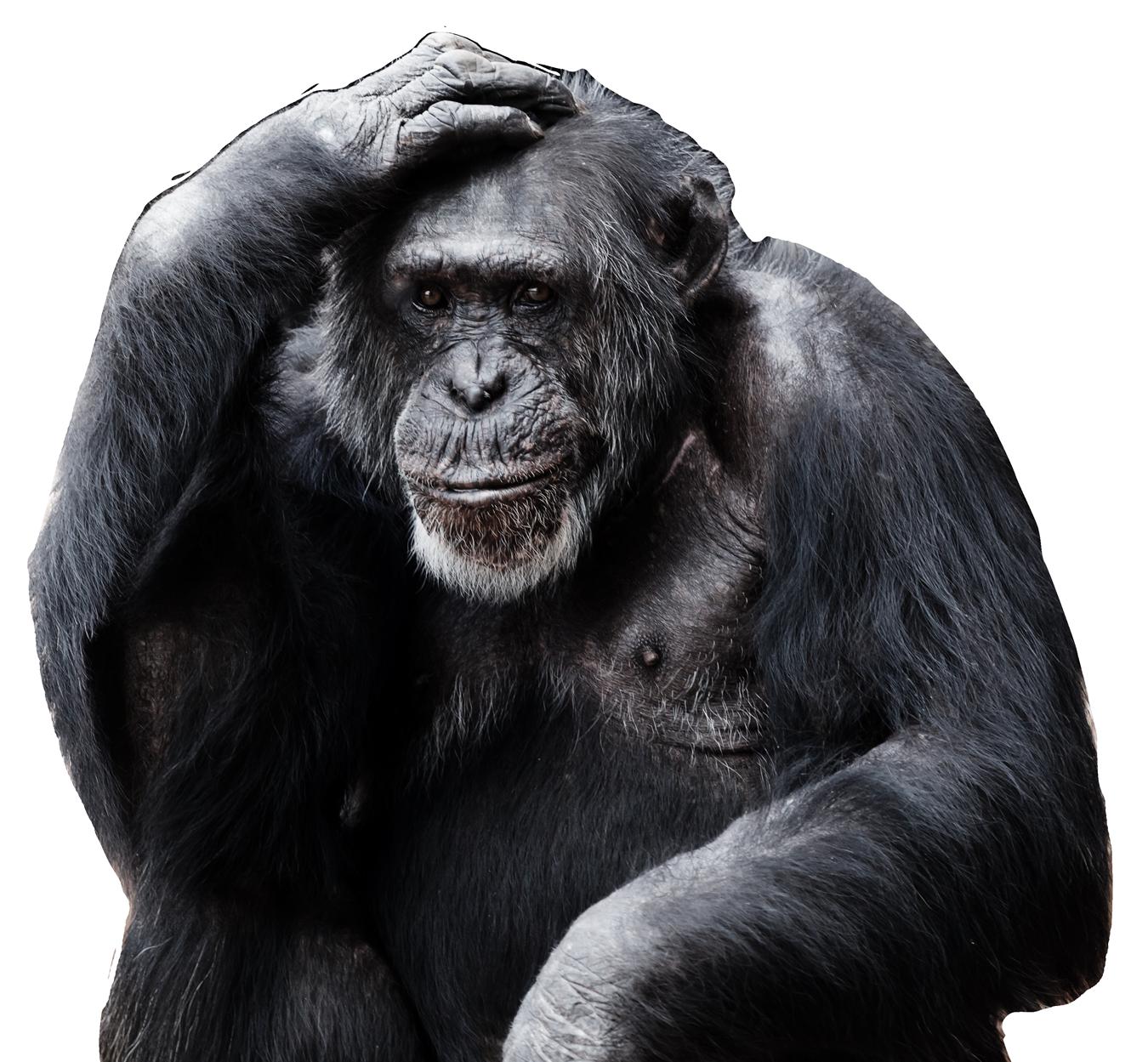 Chimpanzee PNG Image