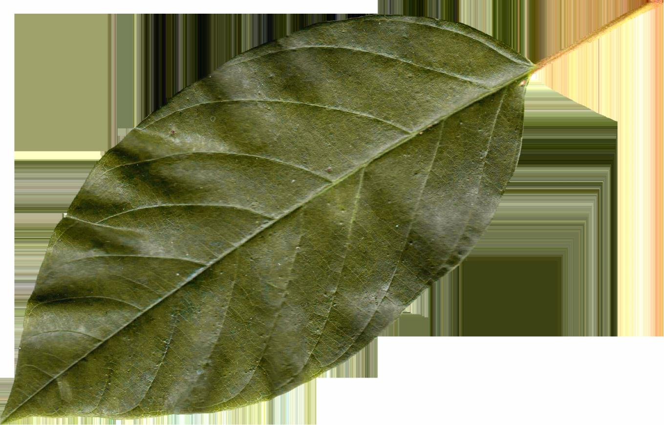 Classic green leaf
