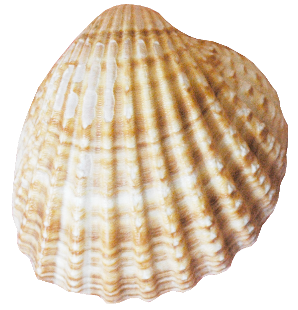 Conch PNG Image