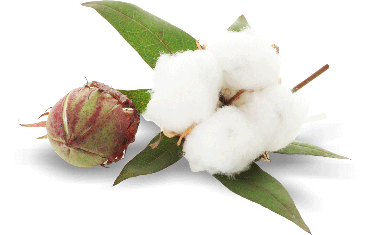 Cotton Plant PNG Image