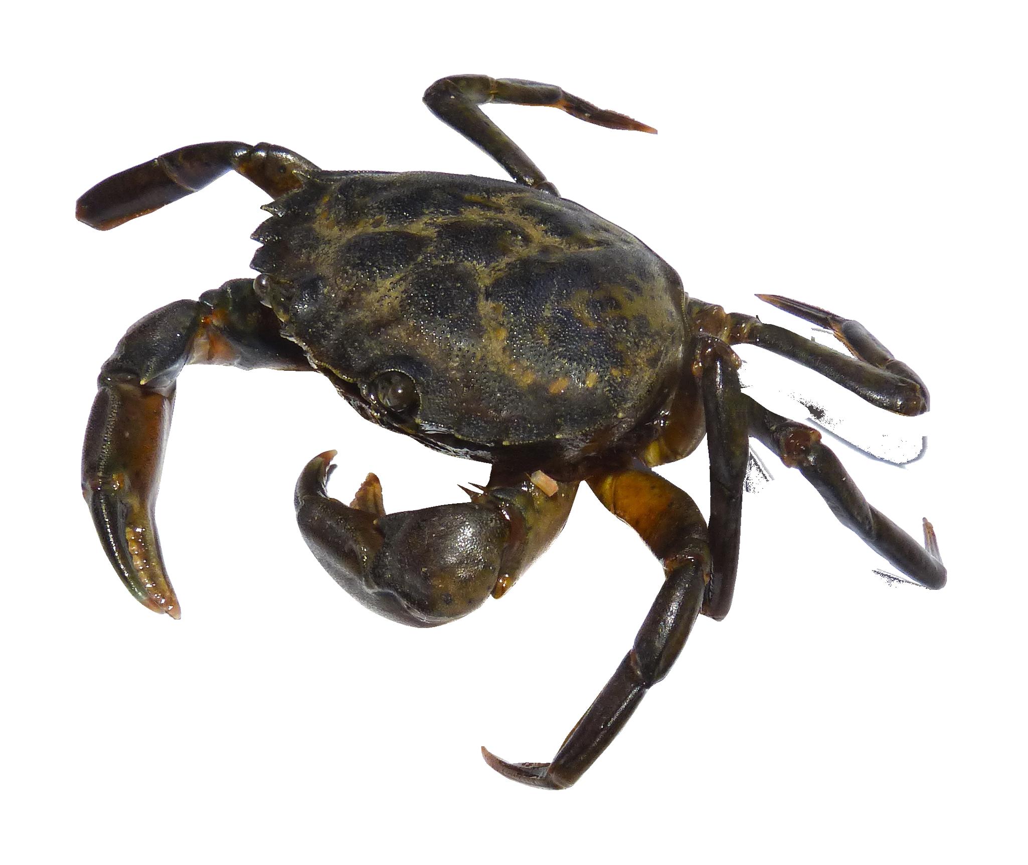 Crab PNG Image