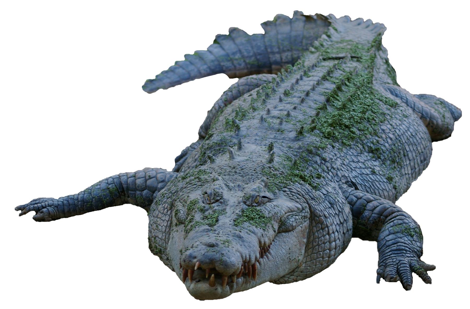 Crocodile PNG Image