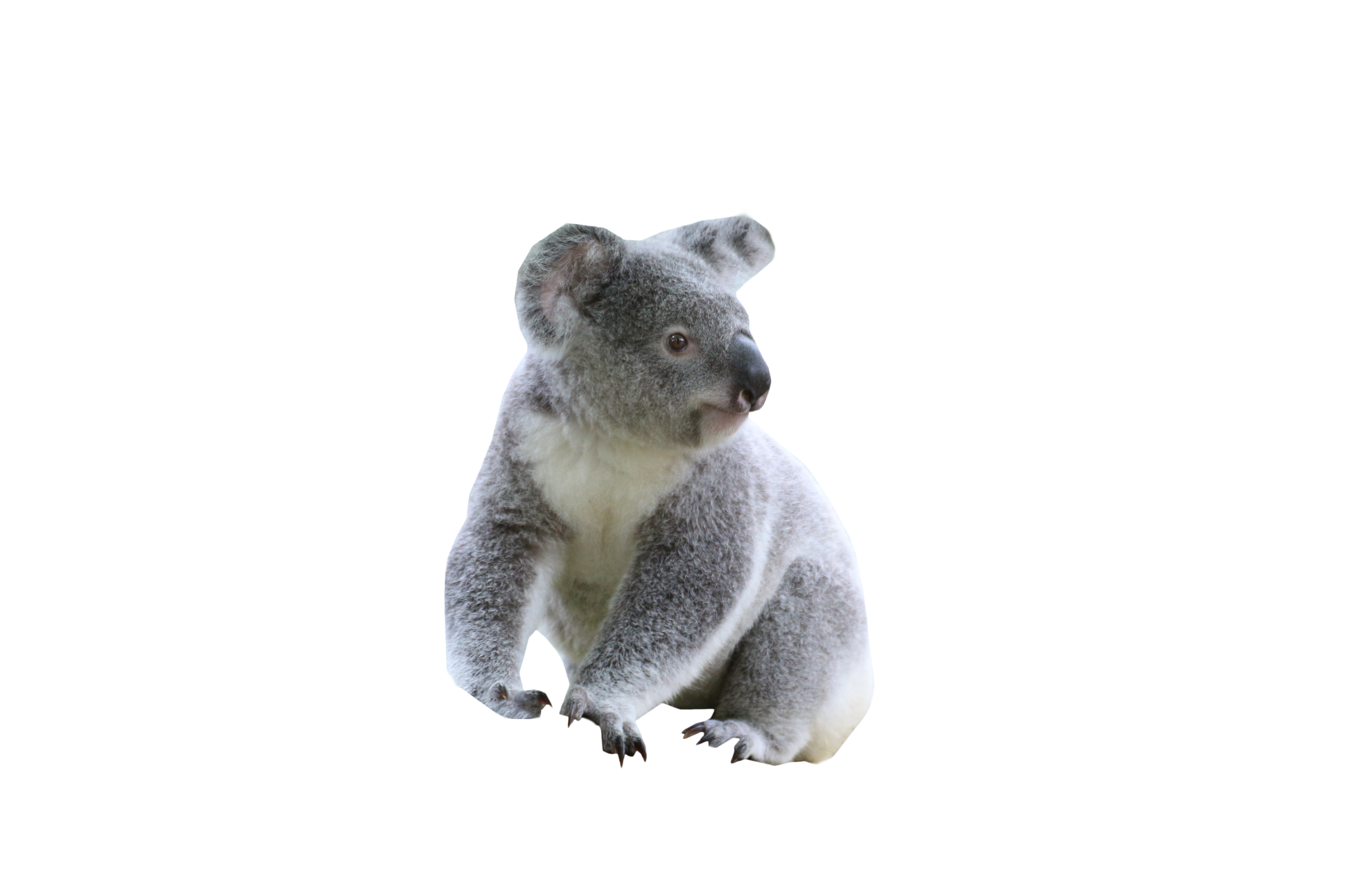 Download Cute Koala PNG Image for Free