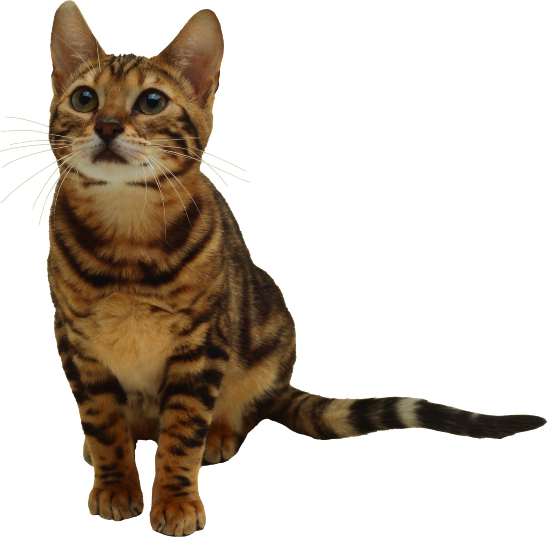 Cute Looking Cat PNG Image