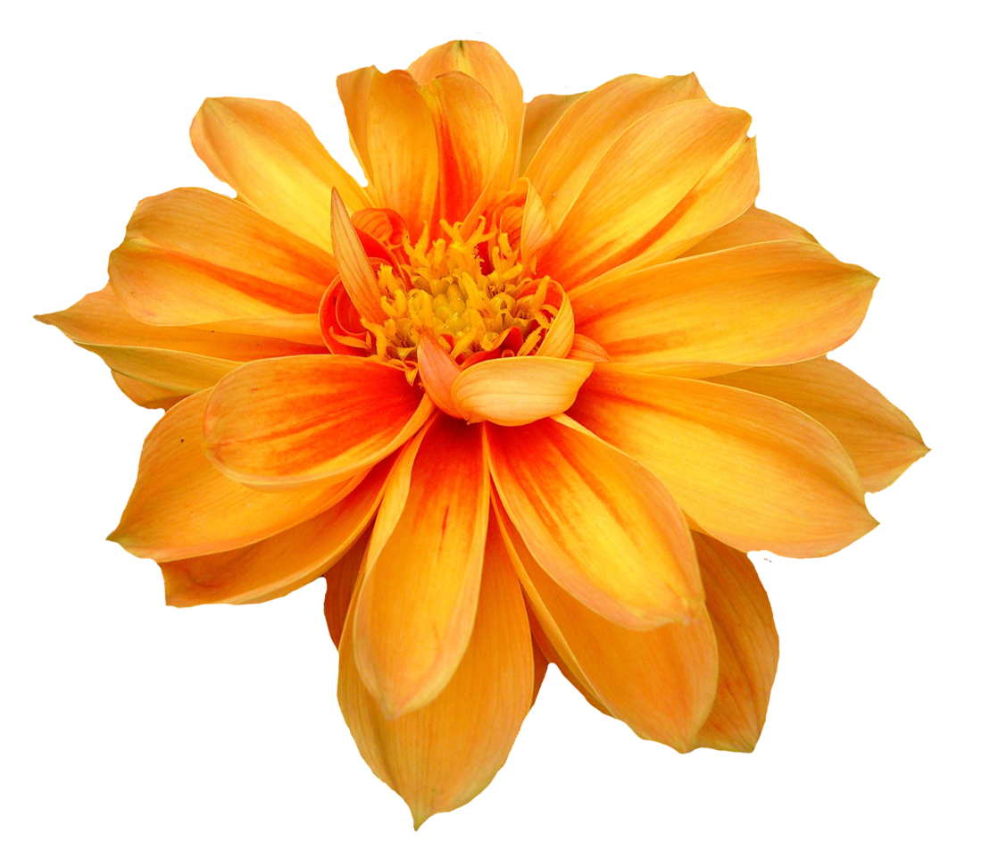 Dahlia Flower PNG Image