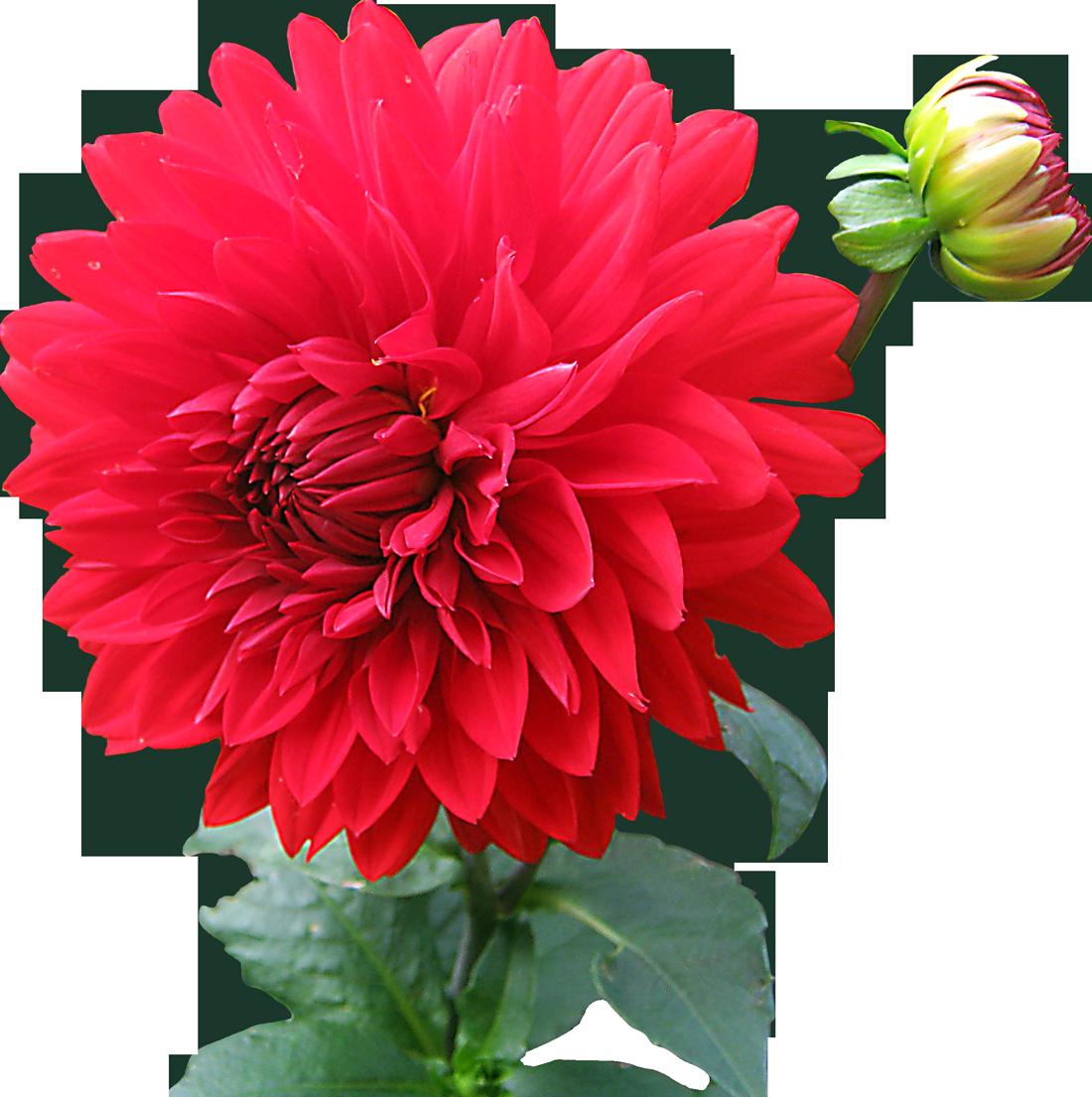 Dahlia flower png image purepng free transparent cc0 png image dahlia flower png image purepng free transparent cc0 png image library izmirmasajfo