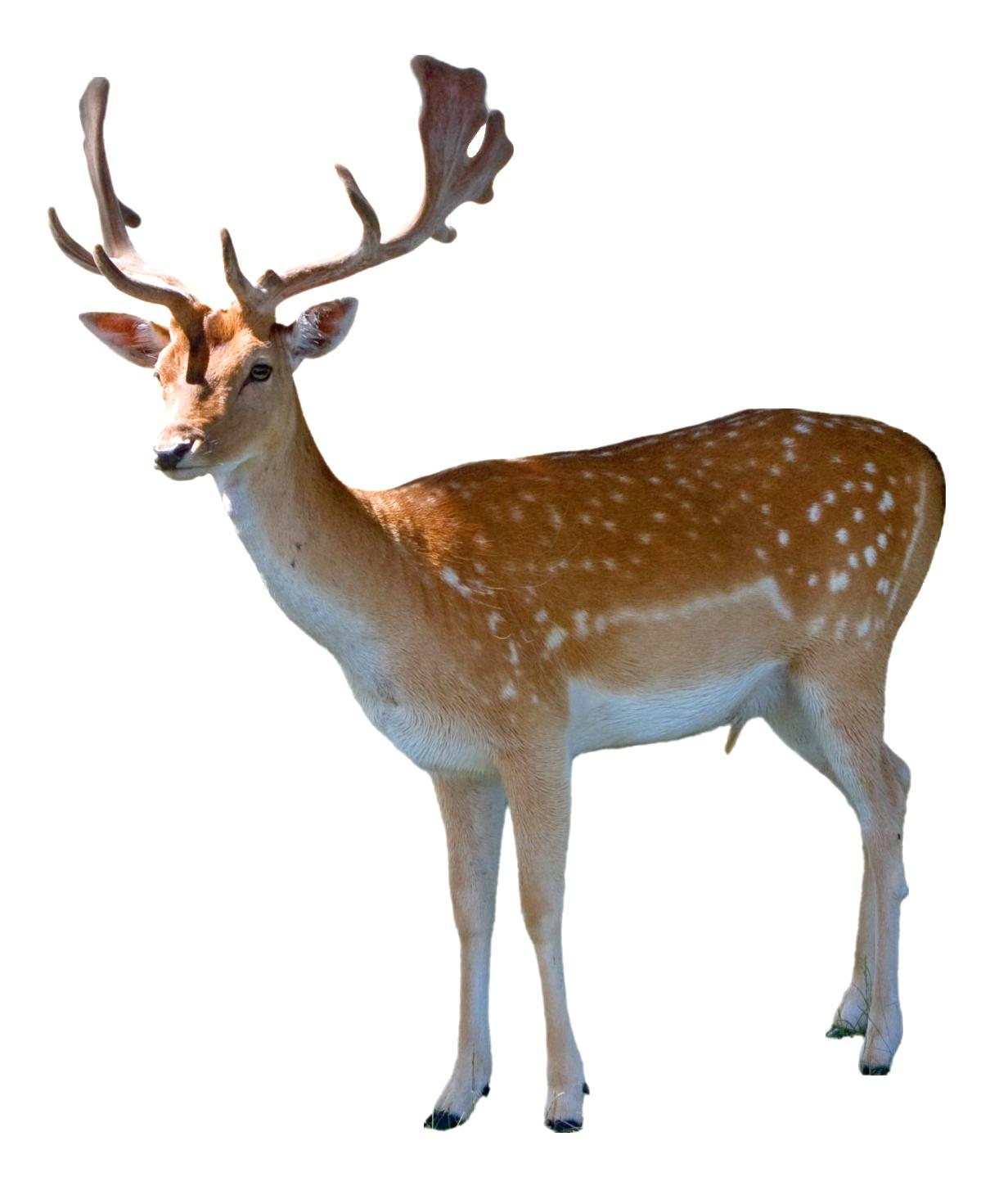 Deer Png Image Purepng Free Transparent Cc0 Png Image