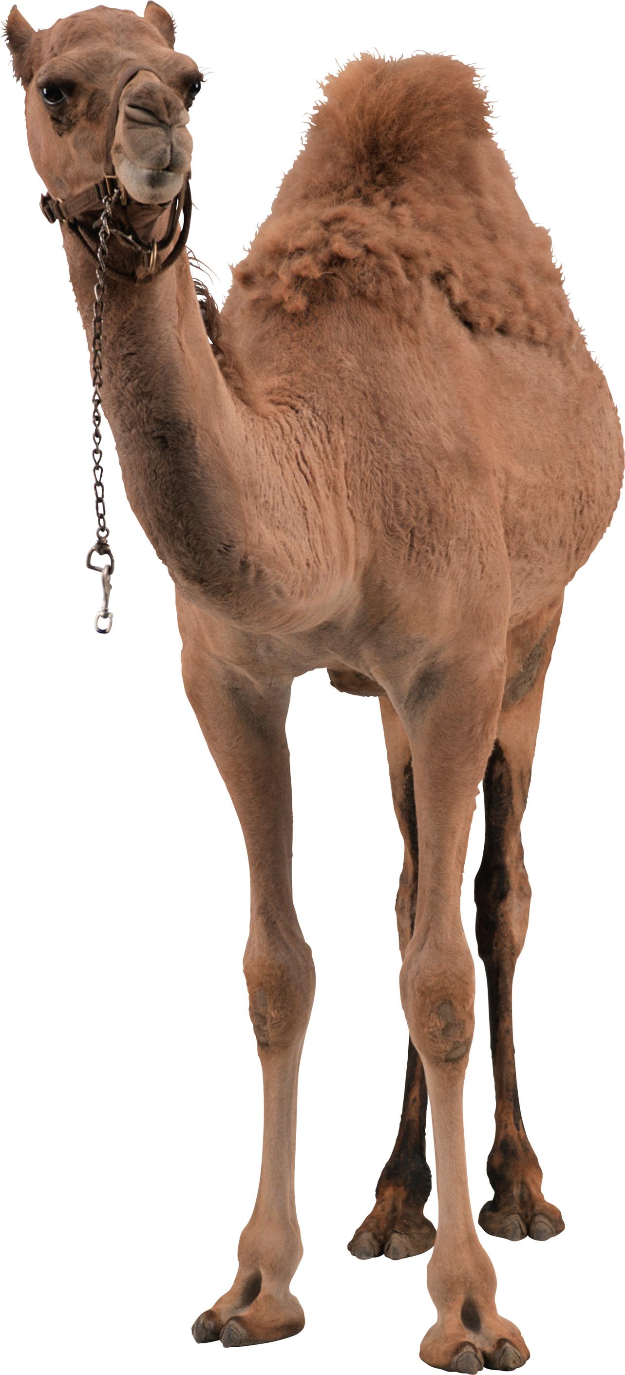 Desert Camel Standing