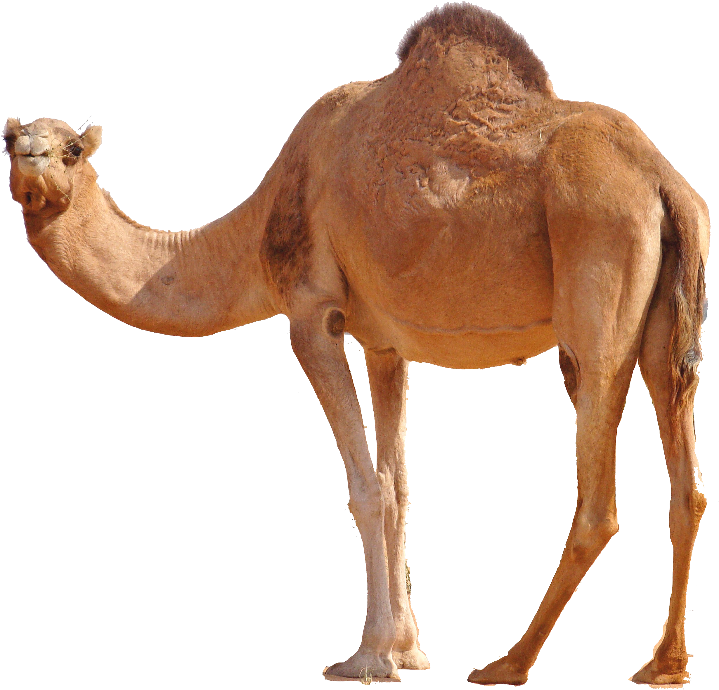 """essay on desert animal camel Desert animals and plants adopt themselves to the climate people in the desert use camels as we use cows deserts are famous for """"dates"""" the sweet fruits of desert summary a desert is generally without water and vegetation a desert may be too hot or too cold."""