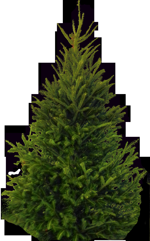 Fir Tree PNG Image - PurePNG   Free transparent CC0 PNG ...