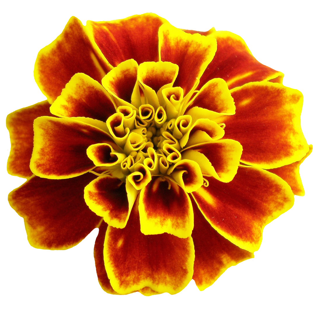 Beautiful flowers images png new best image flower of 2018 beautiful flower clipart at gets for personal use izmirmasajfo
