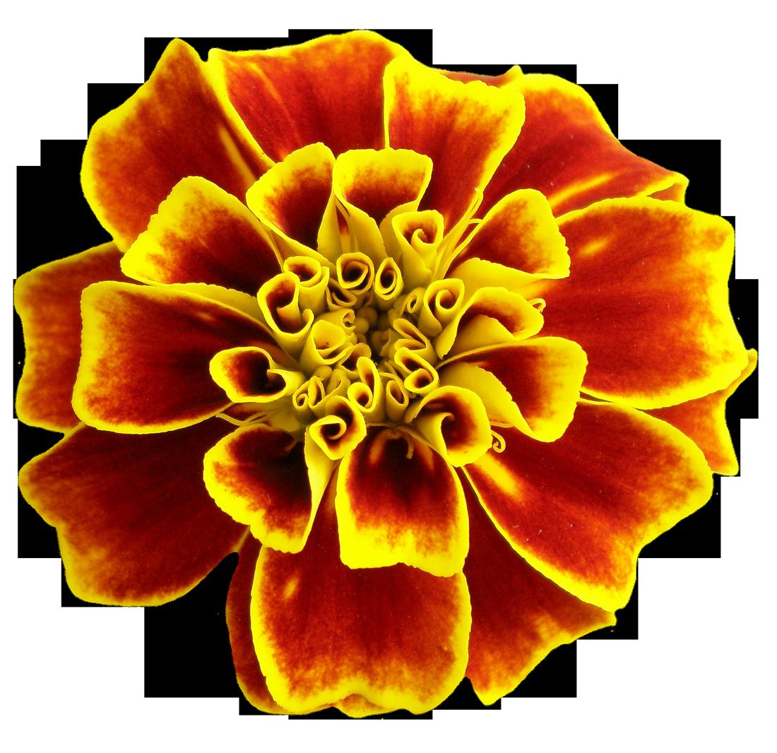 Flower PNG Image