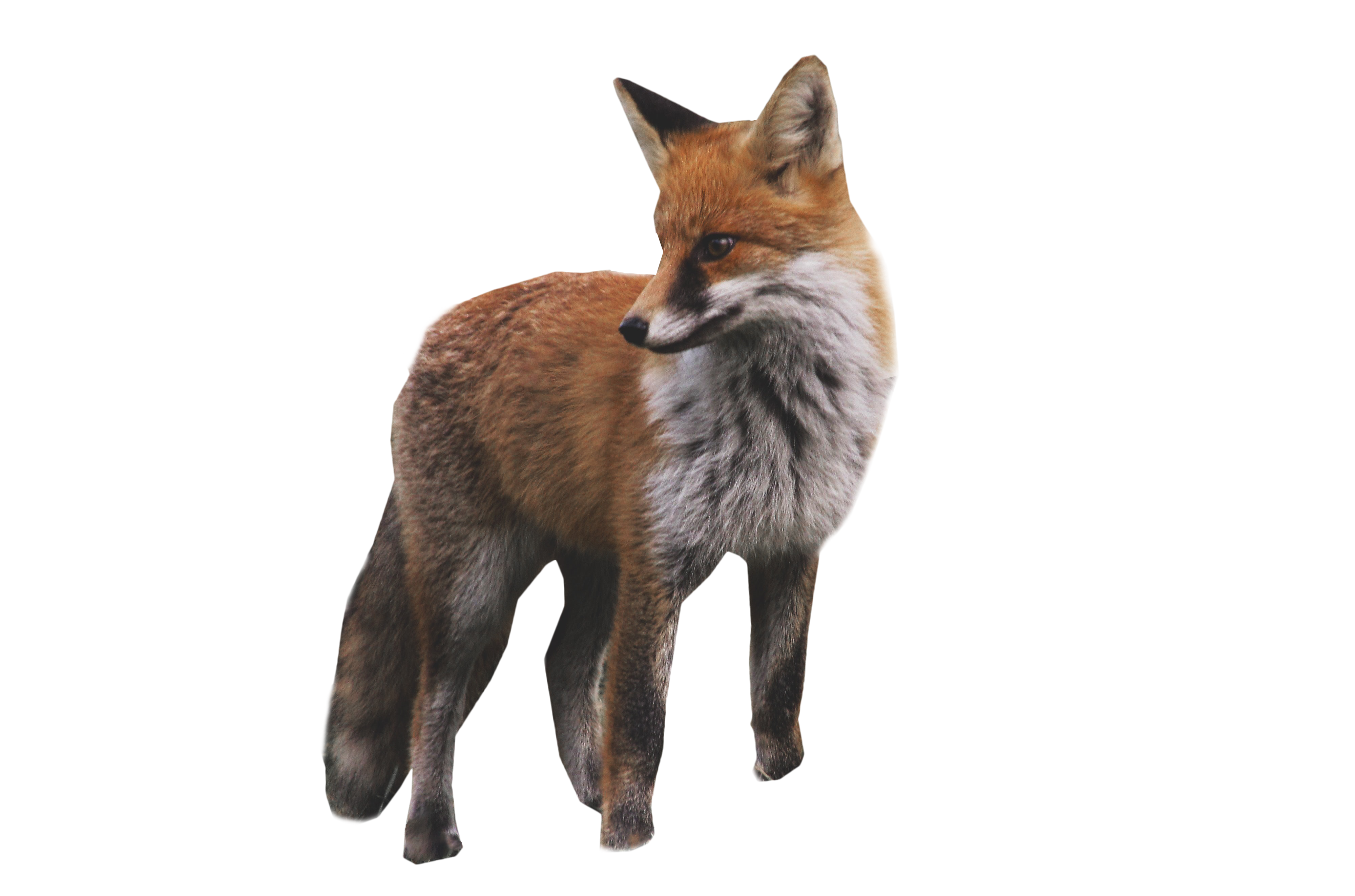 Fox Standing PNG Image