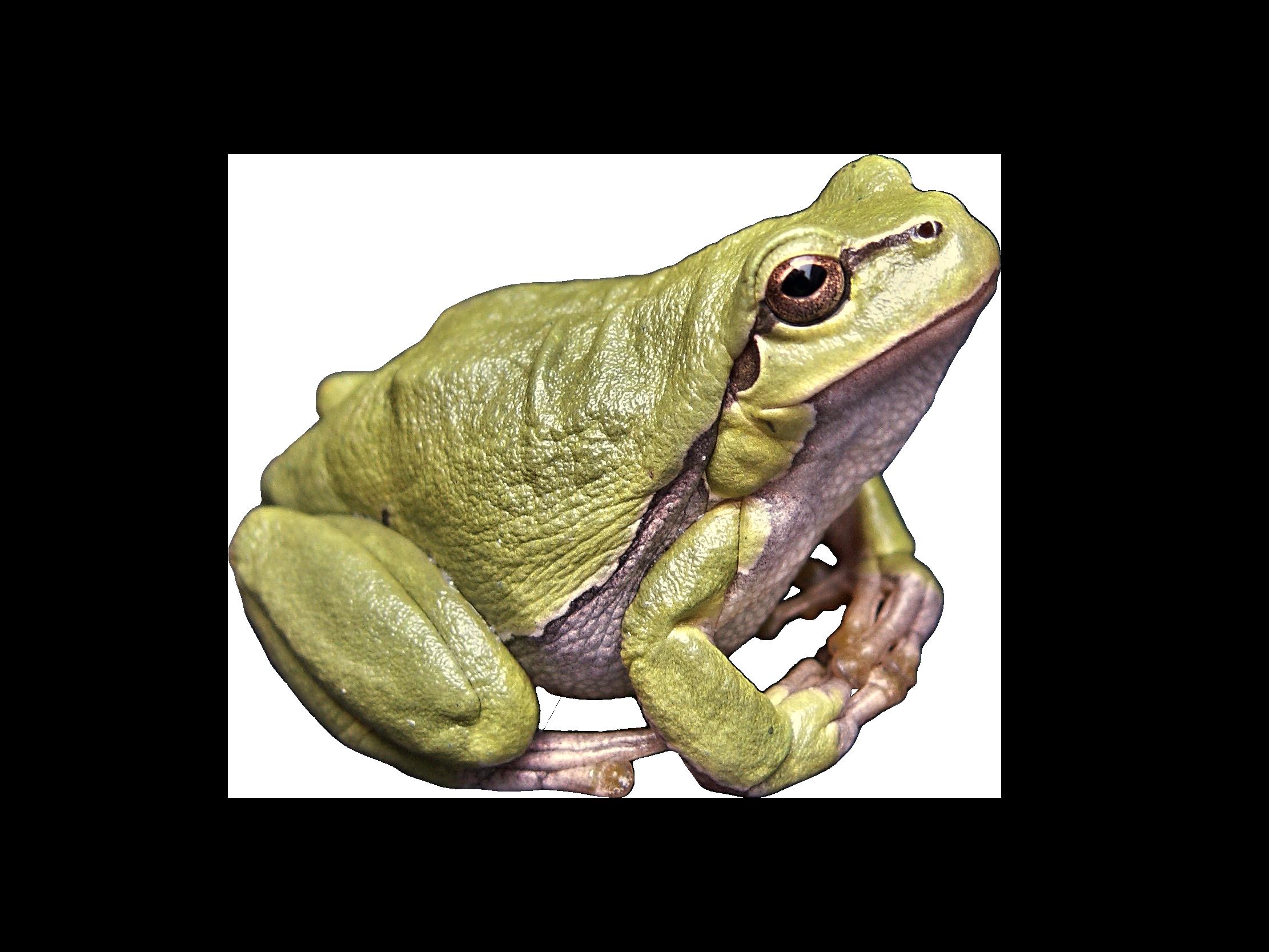 Frog Green PNG Image