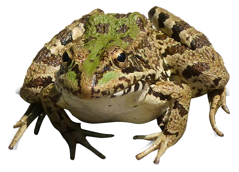 Frog PNG Image