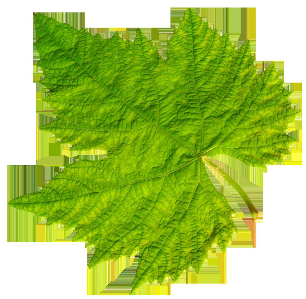 Grape Vine Leaf PNG Image