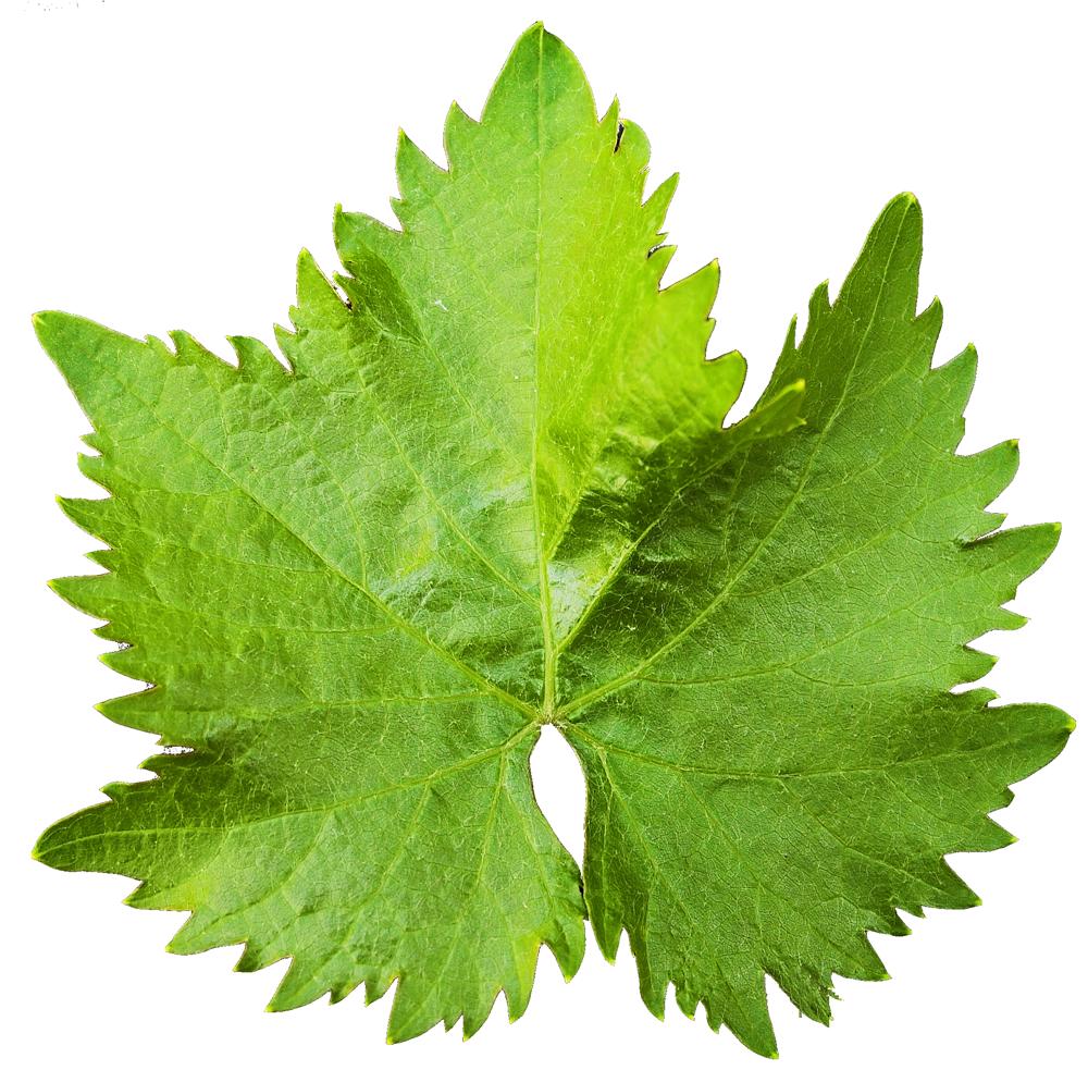 Grape Vine Leaf