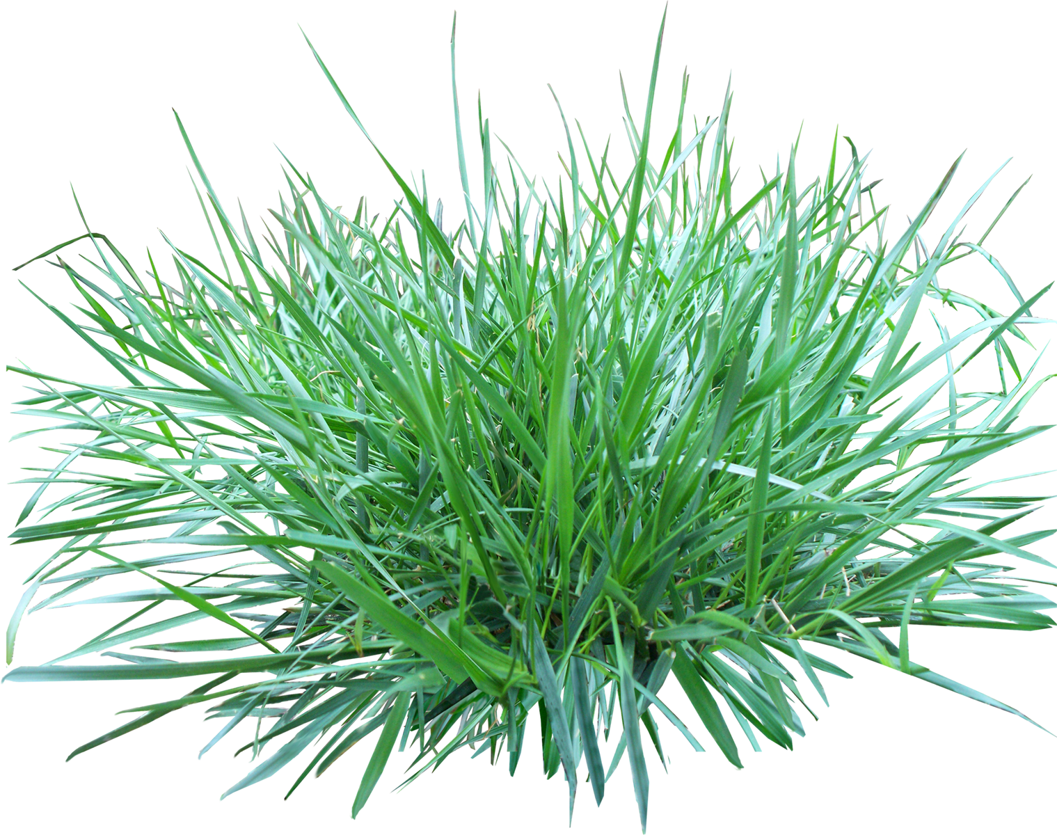 Grass PNG Image
