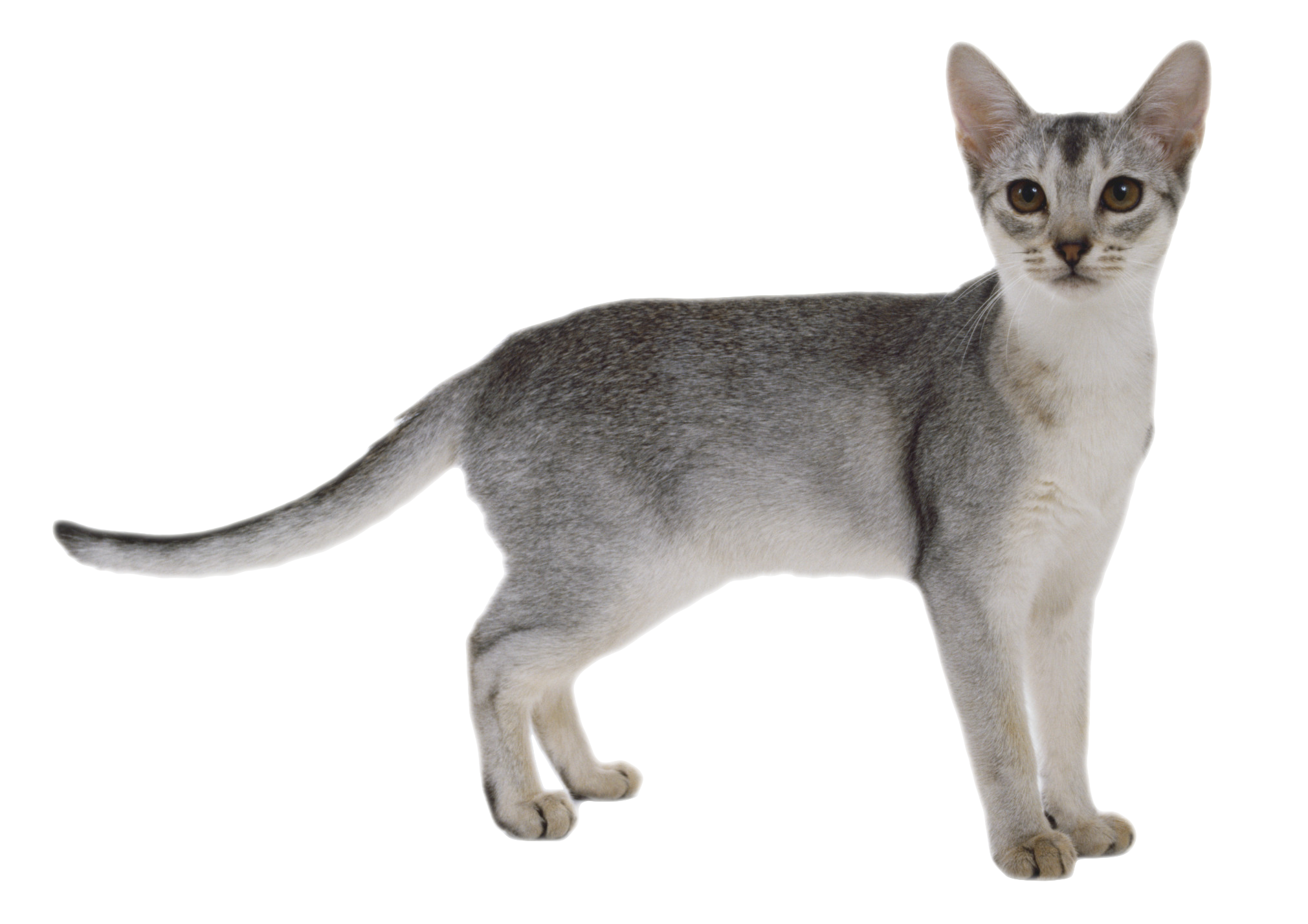 Gray Cat PNG Image