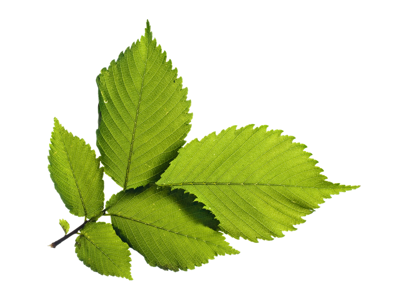 Green Leafs PNG Image