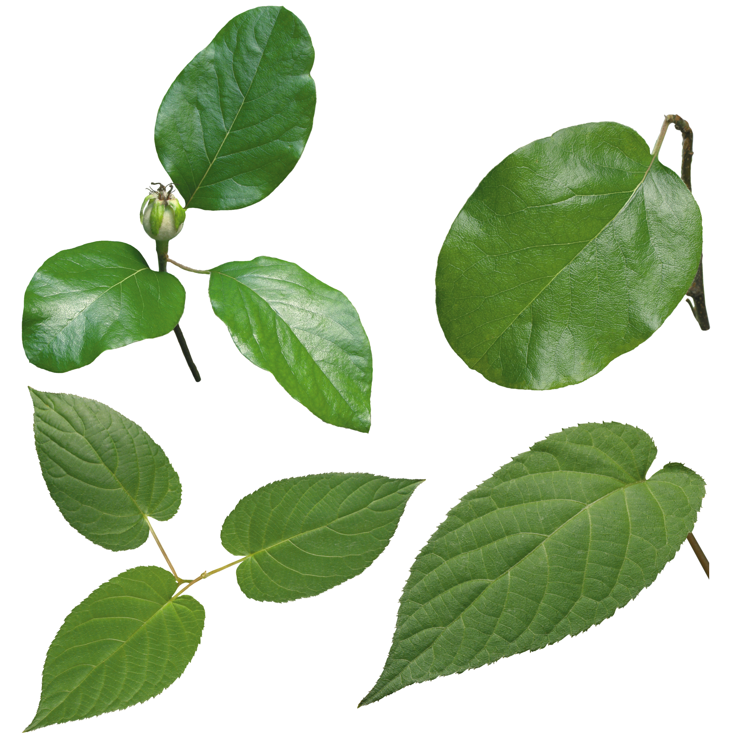 Green leaves PNG Image - PurePNG   Free transparent CC0 PNG