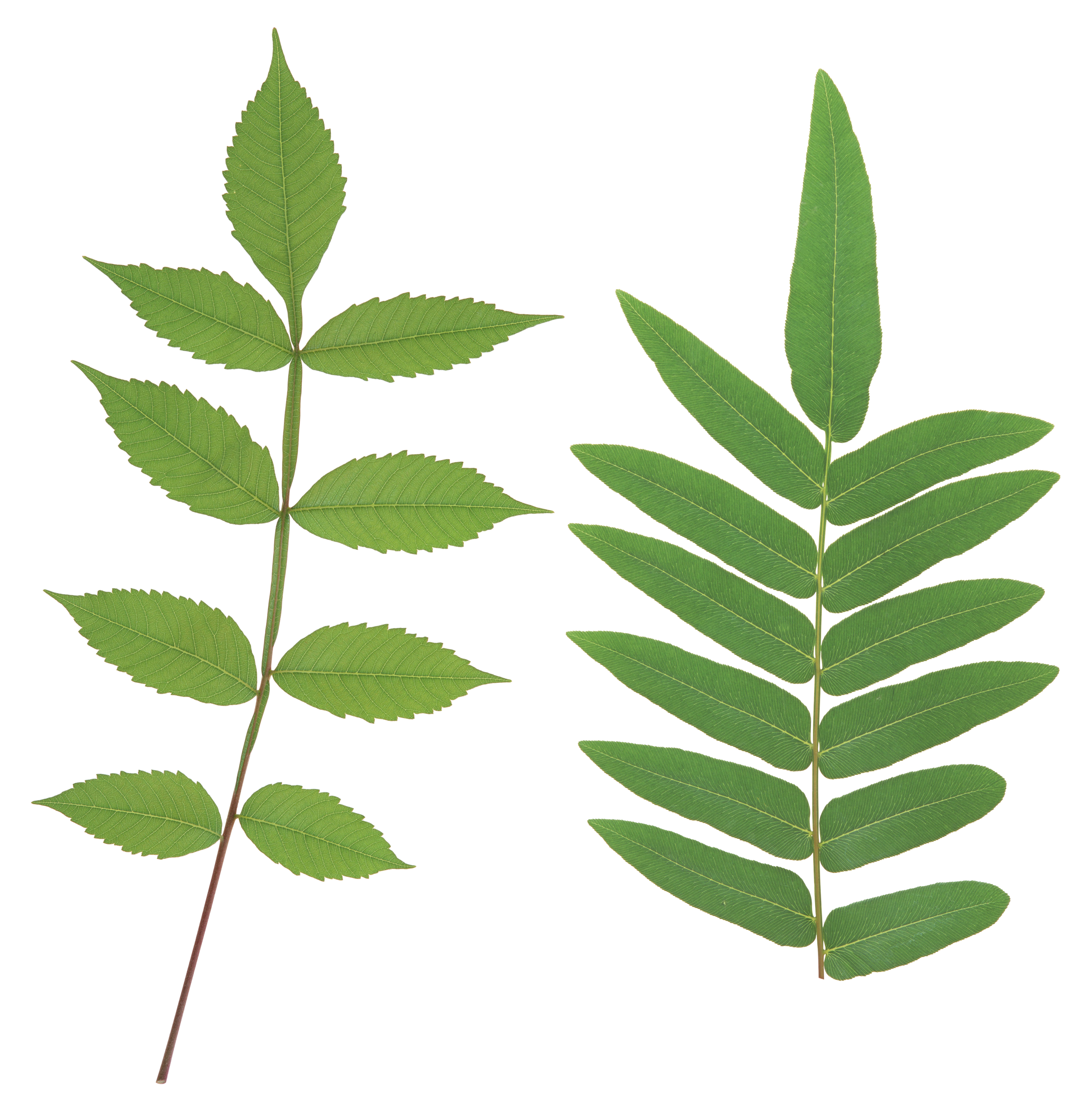 Green leaves PNG Image - PurePNG | Free transparent CC0 PNG