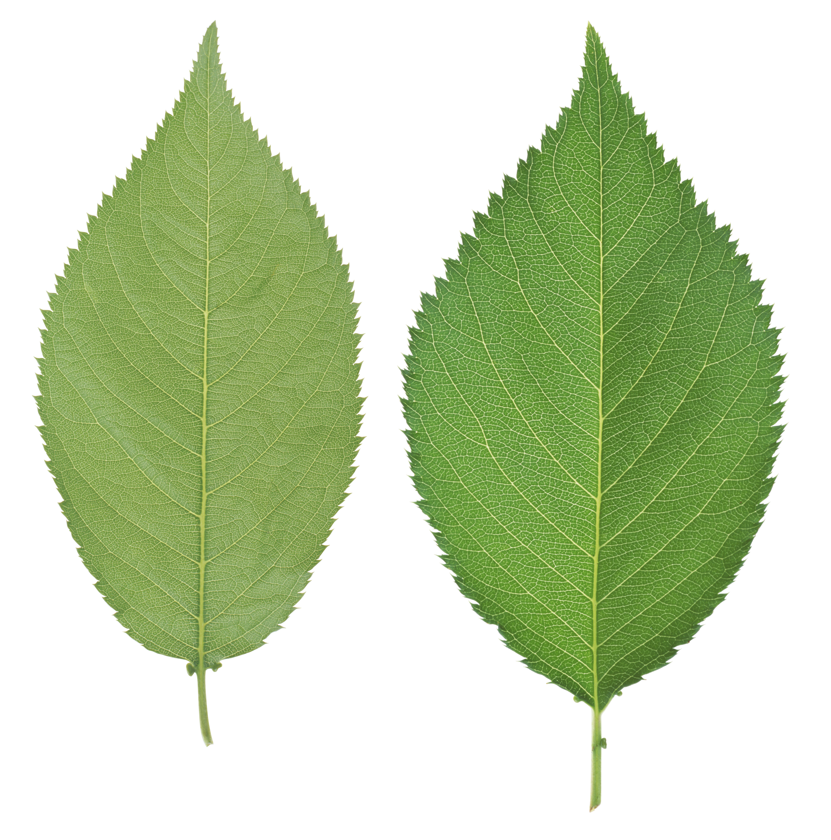 Green leaves PNG Image - PurePNG | Free transparent CC0 ...