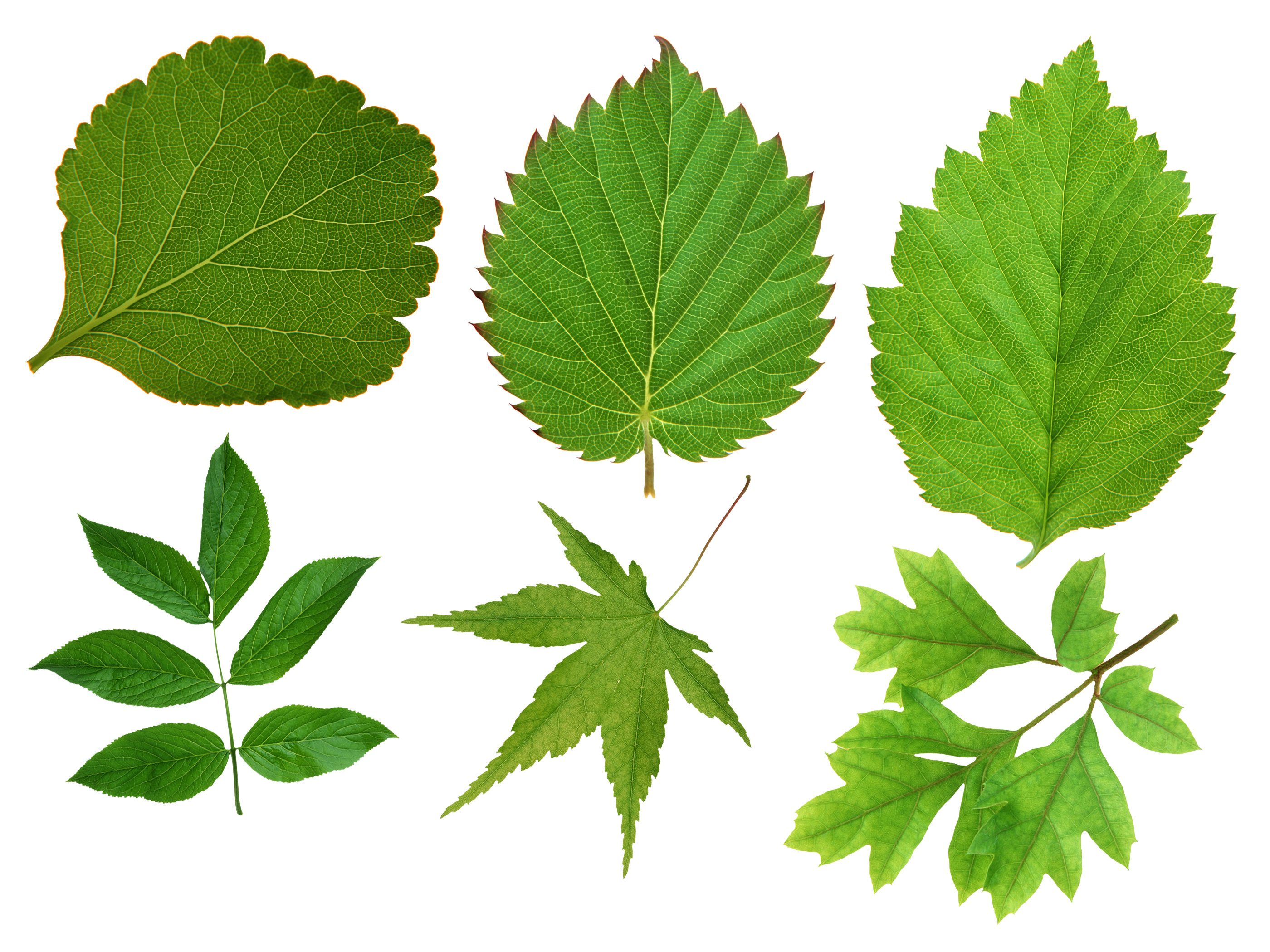 Although Leaves Can Be Seen In Many Different Shapes Sizes And Textures Typically A Leaf Is A Thin Dorsiventrally Flattened Organ Borne Above Ground And