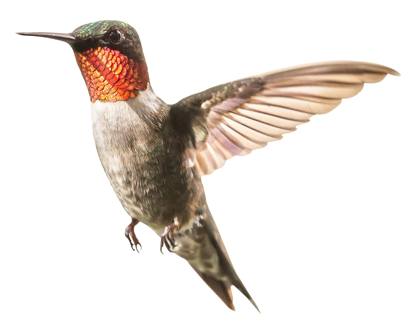 Hummingbird Png Image Purepng Free Transparent Cc0 Png