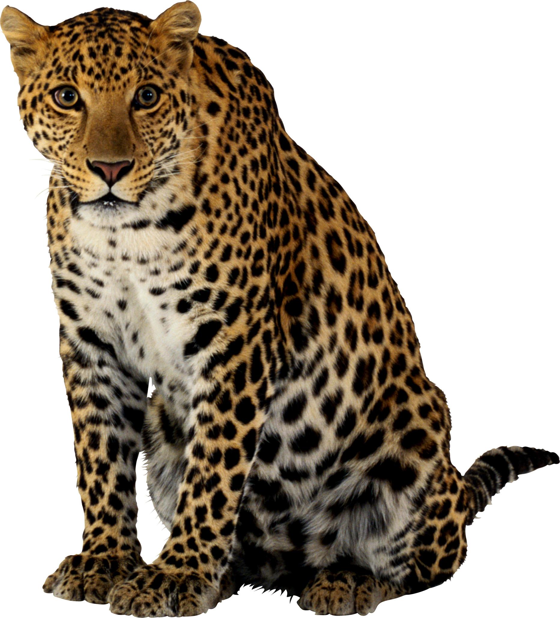 Leopard Sitting PNG Image